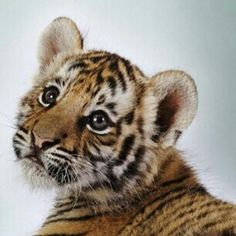 NATURE.  BABY TIGER