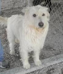 Image result for West highland terrier mix