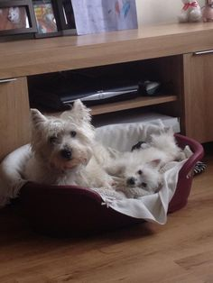 Toby & Ted #westies West Highland Terriers