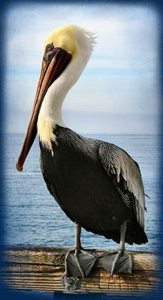 """Alan, The Pretty Pelican"" by Sally Bauer http://fineartamerica.com/featured/2-alan-the-pretty-pelican-sally-bauer.html"
