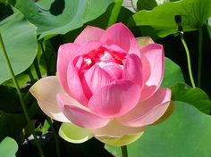 A personal favorite from my Etsy shop https://www.etsy.com/listing/295173849/lotus-water-lily-flower-seeds-hydroponic