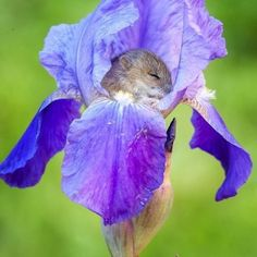 dormouse? sleeping in an iris flower. Probably photoshopped, but still cute