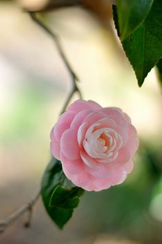 Camellia japonica. Such a lovely flower, no scent. Got to work for a lady who was a breeder back in Louisiana days.
