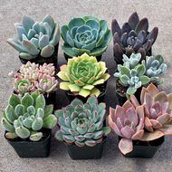 Echeveria Collection Large (9)