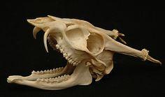 Muntjak deer skull.