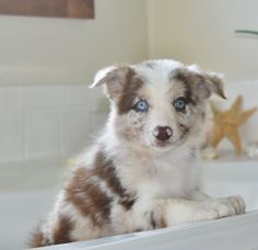 This beautiful red merle Border Collie puppy is getting ready for her bath. #bordercollie #puppy #bath #dogs