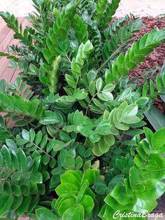 Zamioculca - Zamioculcas zamiifolia