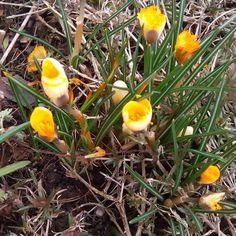 Ein paar Blumen #blumen #flowers #spring #frühling #krokus #sun #instagood #flowerstagram #cute #daytime #morning #pretty #photooftheday #beautiful #day #sunny #flowersofinstagram #nature