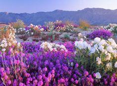 Flowering Desert, Atacama Desert, Chile