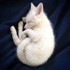 Albino red fox cub