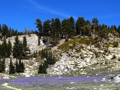 Our trip to Lassen Volcanic National Park in California...we saw these beautiful lavendar flowers along the narrow pathway along the mountains as we walked down into the volcano. The odor from the bubbling pools was terrible at Bumpus Hell!
