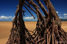 Mangrove Kurimini beach Barnard Island Group National Park Queensland Australia