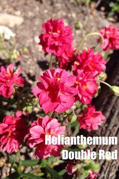 HELIANTHEMUM double red Rock Wall Gardens, Ideal Shape, Soil Ph, Gravel Garden, Sandy Soil, Clay Soil, Drought Tolerant, Hanging Baskets, Hedges