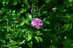 Ruusua  Theresa