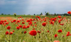 Poppies near the Müritz lake in Mecklenburg-Vorpommern. Last summer there were so many of them that you saw more red than green in the fields. #flowers