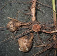 Wild Edible Plants - Jerusalem Artichoke how to identify