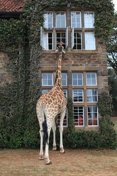 The Giraffe Manor just outside of Nairobi is the most enchanting place, complete with your own giraffes that provide wake up calls through your bedroom window.    Photo by: Vi Rowshankish