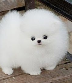 Question: Who loves tiny puppies? Correction: Everyone! Everyone loves tiny puppies! Cute Teacup Puppies, Cute Baby Puppies, Cute Animals Puppies, Cute Pomeranian, Super Cute Puppies, Baby Animals Super Cute, Fluffy Puppies, Fluffy Animals, Cute Little Animals