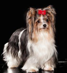 Biewer Yorkie Terrier
