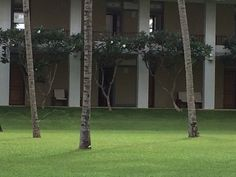 Frangipani trees and the lawn