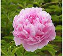 Robertas 3 Piece Sarah Bernhardt Garden Peony — QVC.com