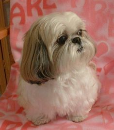 """Figure out additional relevant information on """"shih tzu puppies"""". Browse through our internet site. Shih Tzus, Shih Tzu Hund, Maltese Shih Tzu, Shih Tzu Puppy, Teacup Puppies, Cute Puppies, Dogs And Puppies, Teacup Chihuahua, Pets"""
