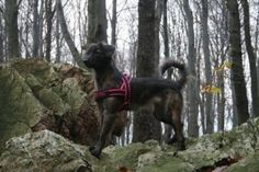 Gėlių laukelyja (Bona, Dutch shepherd dog, long-haired)
