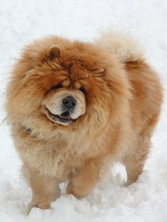 Chow Chow dog art portraits, photographs, information and just plain fun. Also see how artist Kline draws his dog art from only words at drawDOGS.com #drawDOGS http://drawdogs.com/product/dog-art/chow-chow-dog-portrait-by-stephen-kline/