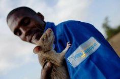 Крысы - самые необычные саперы в мире | Информационно-новостной портал 'Час Пик'