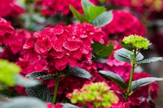 Hortensia Ruby Red