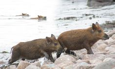 Pigs can't fly... but they can swim: Homesick Scottish boars paddle a mile across the sea