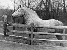 Percheron draft horses.
