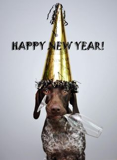 German Shorthaired Pointer New Year! Bella Mae via sharon.elizabeth.photography