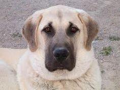 kangal - Google zoeken Kangal Dog, Dog Best Friend, Anatolian Shepherd, Group Of Dogs, Dog Shop, Mountain Dogs, Big Mountain, Dogs Of The World, Big Dogs