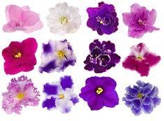 Africké fialky jsou vyšlechtěné v mnoha barvách.