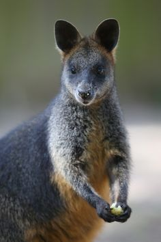 The Brush-tailed Rock Wallaby can bound great distances, up and across rocky terrain.