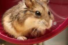Noisy Hamster Your Pet, Dwarf Hamsters, Pets, Photo Credit, Animals, Board, Blog, Animales, Animaux