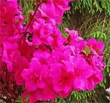 Rhododendron (Japansk azalea) 'Purpurkissen'    - Salgshøjde: 15-25 cm. (JE)