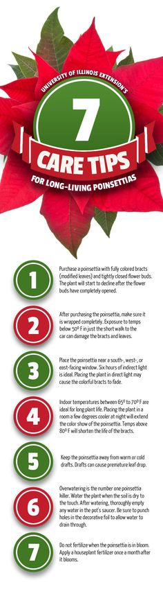 How to keep your holiday poinsettia ALIVE LONGER!