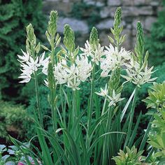 5 X Humphreys Garden Camassia Leichtlinii Alba Bulbs. White Flowers for sale online Garden Bulbs, Shade Garden, Garden Plants, Garden Shrubs, Summer Flowers, White Flowers, Full Sun Perennials, Gravel Garden, Mediterranean Garden