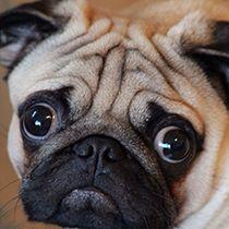 Image Result For Pug Eyes Pugs Bulldog Animals