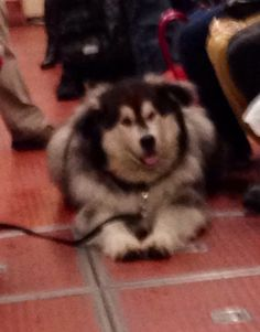 Harvey the hound was on the lrt Calgary, Husky, Dogs, Animals, Animales, Animaux, Pet Dogs, Doggies, Husky Dog