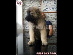 Kafkas Çoban Köpeği 0532 343 8041 http://www.kopek.tc/kafkas-coban-kopegi.htm  Köpek Kulübü   Kafkas Çoban Köpeği yavruları ; Kafkas çoban köpeği diğer ismi ile Kars Çoban Köpeği. KAFKAS ÇOBAN KÖPEĞİ koruma köpekleri arasında en güçlü ve iri olanlar grubundadır. Kafkas çoban köpeğinin cidago (omuz) yüksekliği 75 cm. ve ağırlığı da 70 kiloyu bulmaktadır. Kafkas çoban köpeğinin tüyleri son derece kalın ve bir o kadarda dayanıklıdır. Özellikle sert iklim koşullarına aldırış etmeyen bir fiziği…
