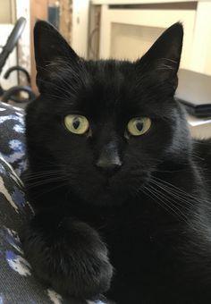 Black cat Morris