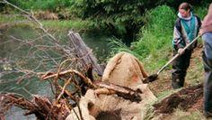 Volunteers stabilize a stream bank in Alaska
