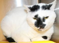 OUT OF TIME!! NEEDS OUT ASAP!! Sick hold is FULL!!  NAME: The Commodore  ANIMAL ID: 24599465 BREED: DSH  SEX: Male  EST. AGE: 3 yrs  Est Weight: 9.10 lbs Health: Has URI!  Temperament: friendly ADDITIONAL INFO:  RESCUE PULL FEE: SPONSORED!!