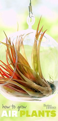 Air plants are perfect for those with a fear of houseplants—it's easy to grow and care for air plants!
