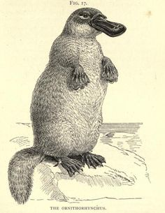 The Ornithorhynchus This illustration makes me feel like I could train a platypus to beg for treats…they'd probably stab me with their venomous leg-spikes. Well, the males, at least. Types of Animal Life. St. George Mivart, 1893.