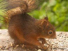 Pour se réconforter quelques graines de tournesol, fortement appréciées par les mamans écureuil qui nourrissent leurs petits en ce moment.