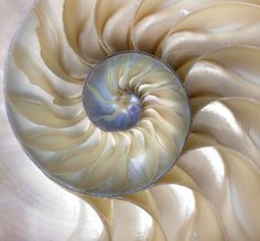 size: Photographic Print: An Amazing Fibonacci Pattern in a Nautilus Shell by Tramont_ana : Golden Ratio In Nature, Golden Ratio Spiral, Et Wallpaper, Spirals In Nature, Zora Neale Hurston, Nautilus Shell, Shell Art, Room To Grow, Abstract Wall Art